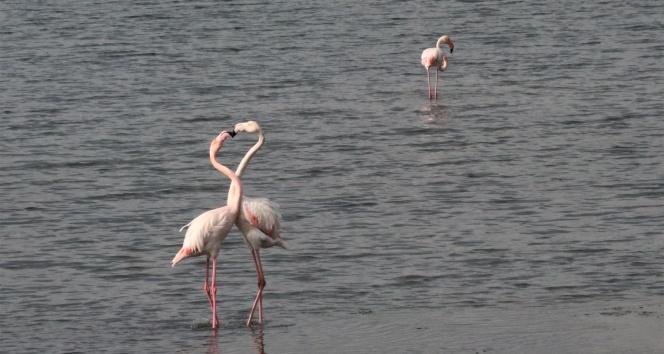 İzmit Körfezi'nde flamingoların görsel şöleni