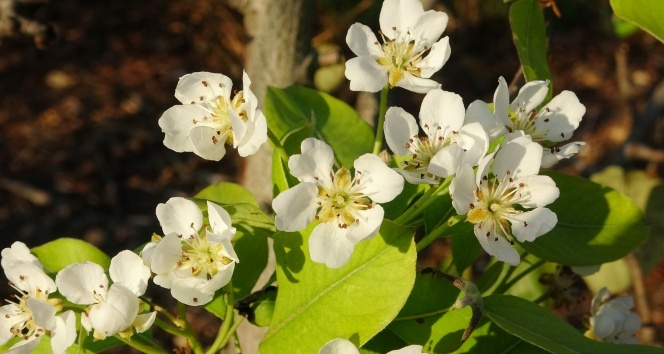 Mersin'de armut ağaçları Kasım ayında çiçek açtı, üretici şaşkın