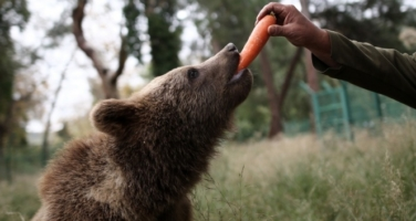 Türkiye'nin tek ayı barınağına 5 yeni yavru getirildi
